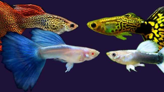 Proses Pendederan Ikan Guppy